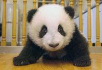 pandaBear17